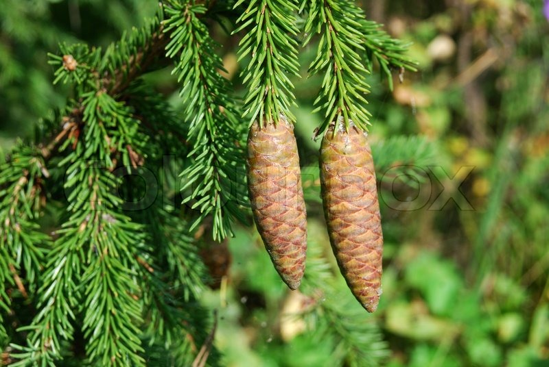 large fir tree cones in front of green needles stock