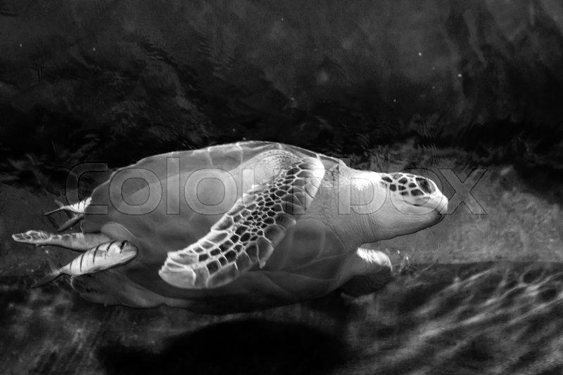 Sea turtle closeup black and white photo grain added, stock photo