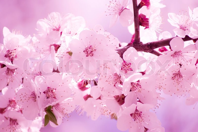 Slightly Blurred Beautiful Sakura Flowers In The Morning Mist Shallow Dof