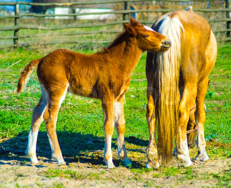 A horse with a foal. Animals horse with a foal. A pet mammal farm horse and foal, stock photo