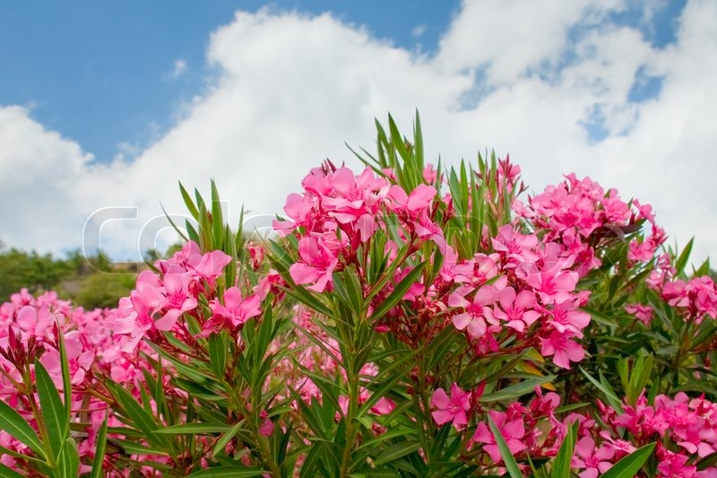 Pink flowers of oleander in summer day stock photo colourbox mightylinksfo