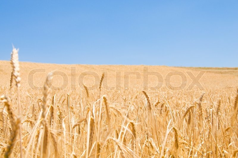 Wheat field on the bright summer day, stock photo
