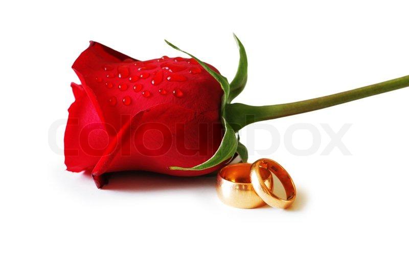 Zwei goldene Hochzeit Ringe und eine rote Rose  Stockfoto  Colourbox