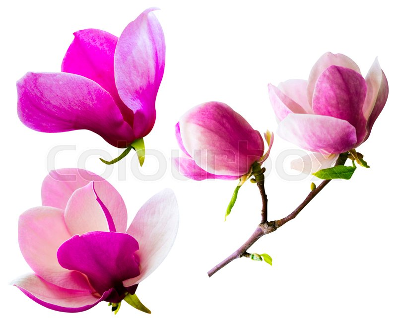 Decoration of few magnolia flowers pink magnolia flower isolated on decoration of few magnolia flowers pink magnolia flower isolated on white background magnolia magnolia flower magnolia flower spring branch isolated on mightylinksfo