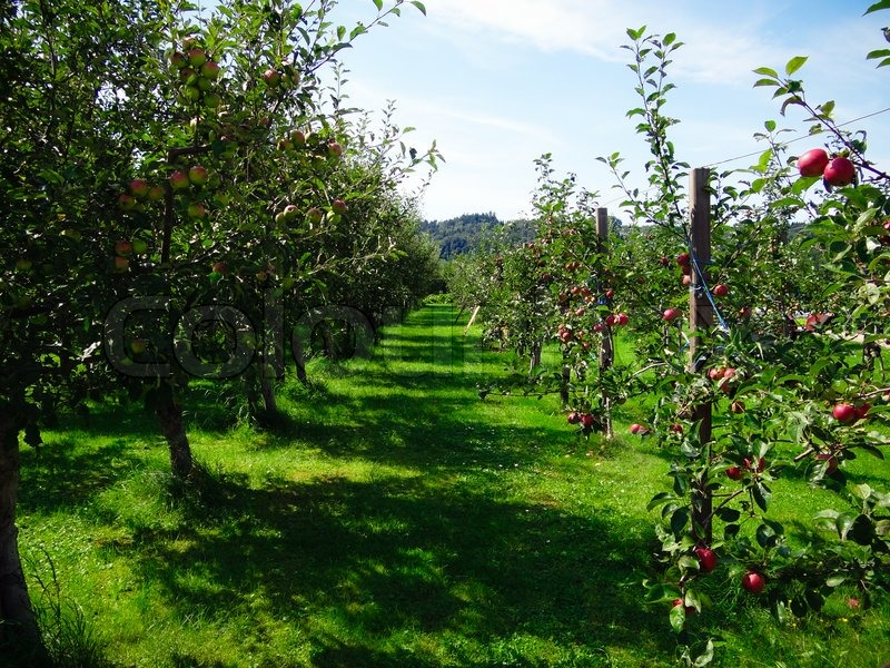 Apple trees with red and green apples   Stock Photo ...