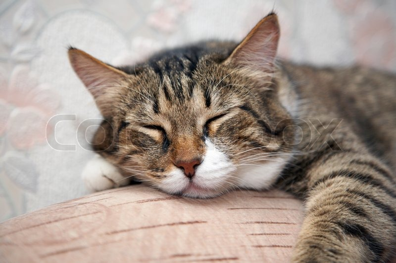 Cat Sleeping By Sofa Kuzia Senior Cat 12 Y O Stock