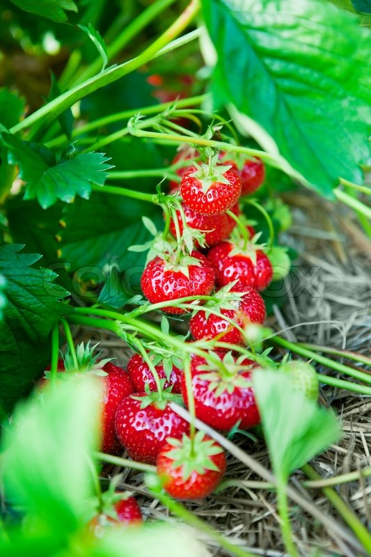 Stock image of 'Closeup of fresh organic strawberries growing on the vine'