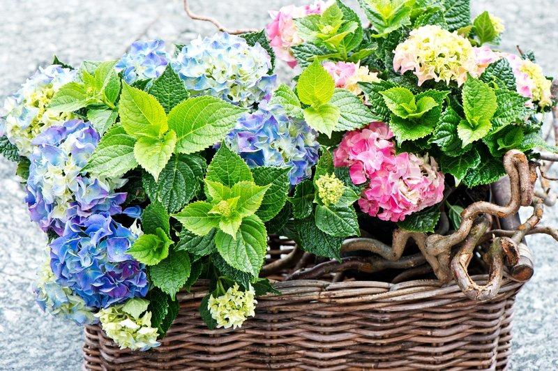 bunte hortensien b sche frischen hortensien pflanzen stockfoto colourbox. Black Bedroom Furniture Sets. Home Design Ideas