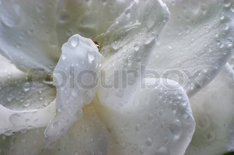 Raindrops on Gardenia, stock photo