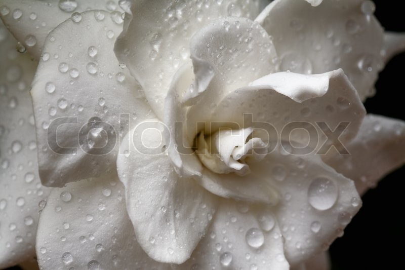 Gardenia flower with raindrops. Macro, stock photo