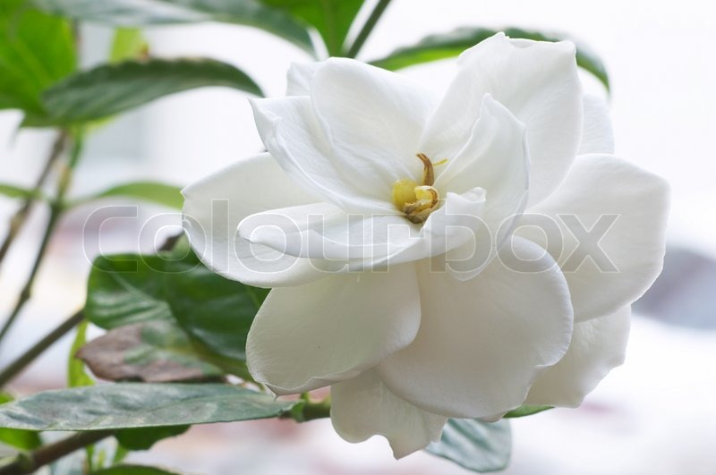 Flower of Gardenia, stock photo