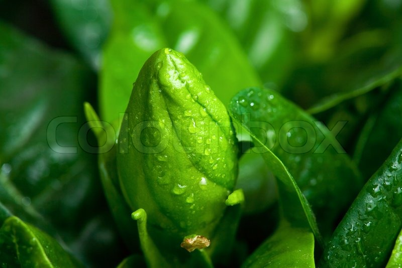 Bud of gardenia flower with raindrops. Macro, stock photo