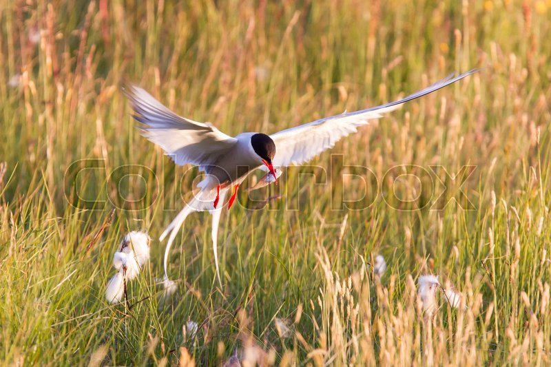 Arctic tern with a fish - Warm evening sun - Common bird in Iceland, stock photo