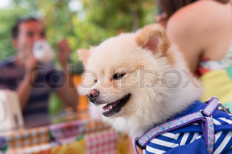 Pomeranian dog puppy cute cute pet happy friendly, stock photo