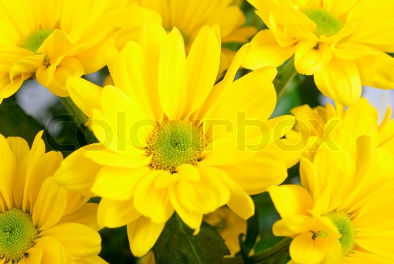 Yellow color chrysanthemum flowers close up stock photo colourbox mightylinksfo