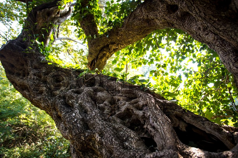 Stock image of 'old stams of oliv tree focused close up'