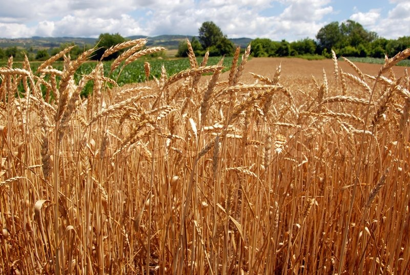 yellow wheat plant on field over scenic landscape serbia stock