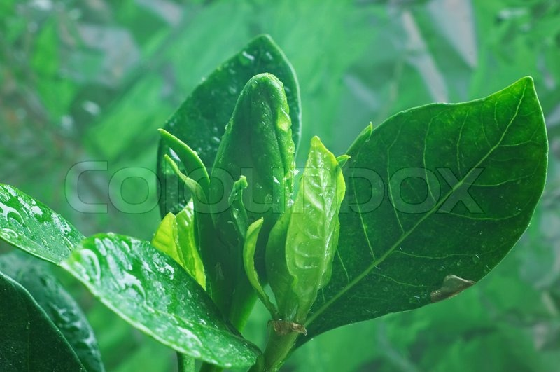 Bud of Gardenia flower, stock photo