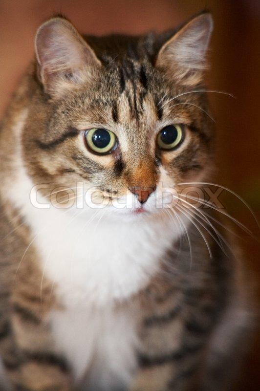 Cat portrait. Kuzia - senior cat (12 y.o.), stock photo