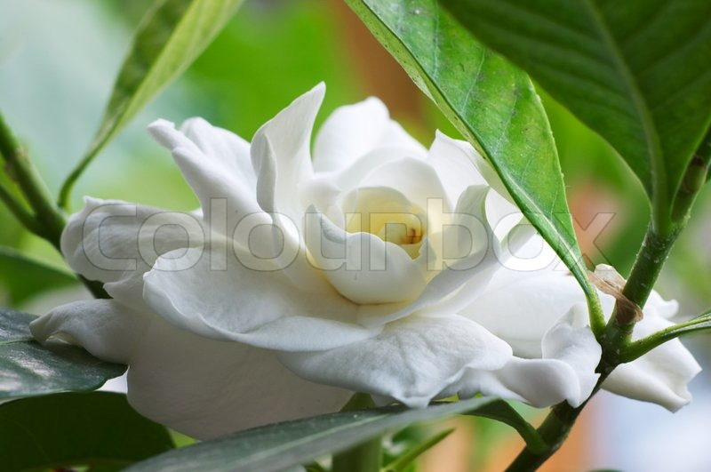 Flowering Gardenia, stock photo