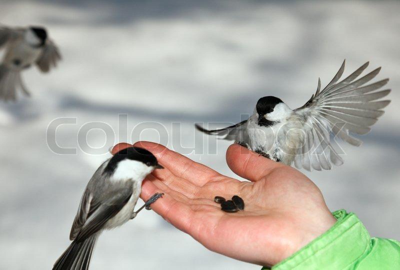 Chickadee landing - photo#26