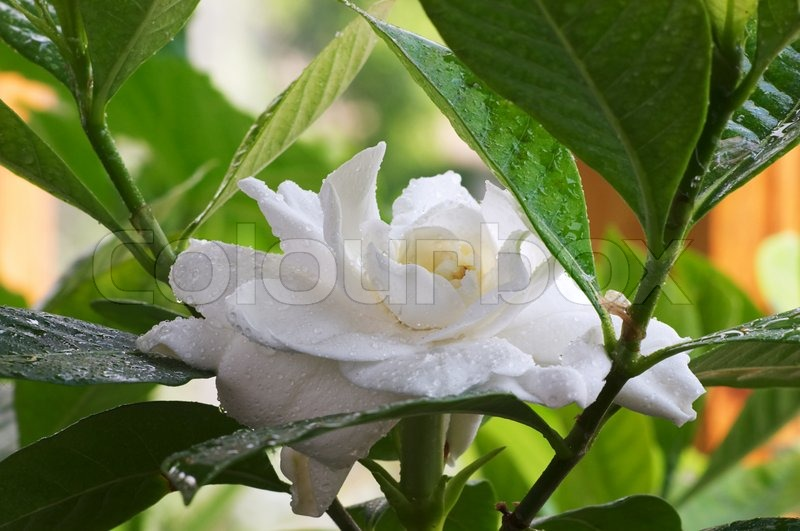 Rain drops in the Gardenia flower, stock photo