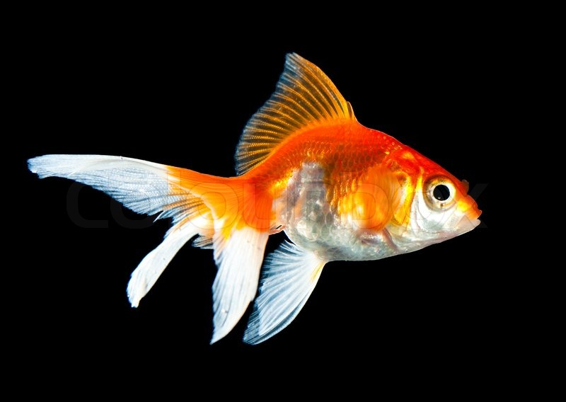 Stock image of 'Goldfish isolated on a dark black background'