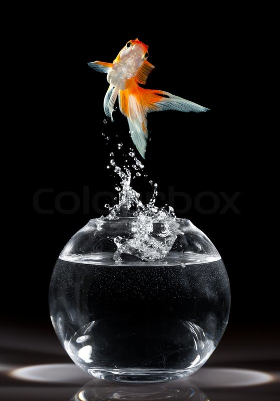 goldfish jumps upwards from an aquarium on a dark