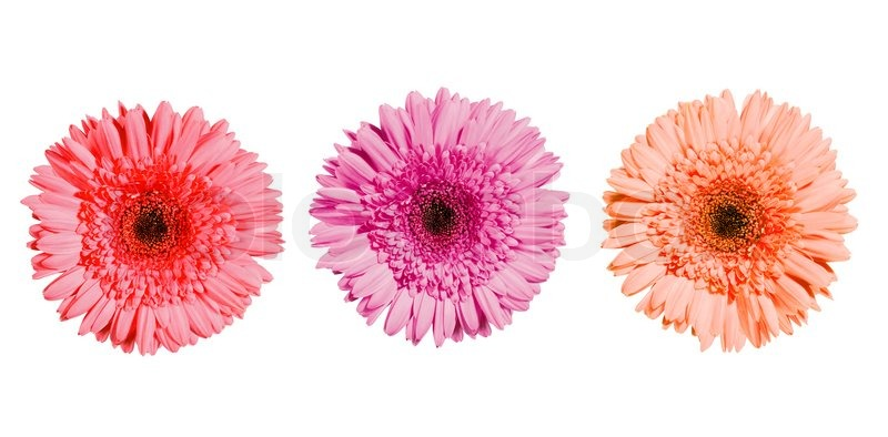White background with colorful flowers round designs three gerbera flowers of pink colors isolated on white background mightylinksfo Image collections
