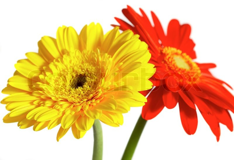 Red and yellow flower on a white background stock photo colourbox red and yellow flower on a white background stock photo mightylinksfo