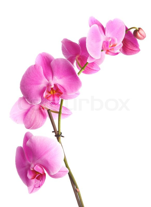 Pink flowers orchid on a white background stock photo colourbox mightylinksfo