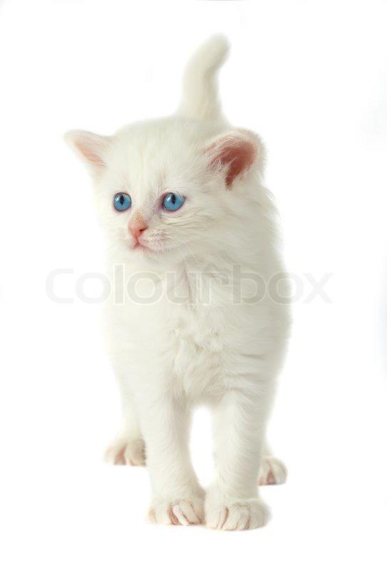 Blue-eyed ginger-and-white kitten photo WP02409   White Cats Blue Background