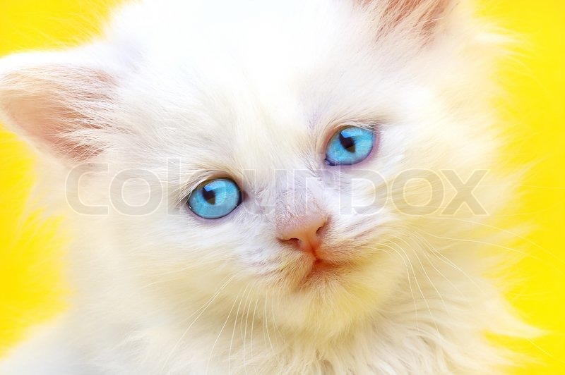 White kitten with blue eyes. On a yellow background ... White Baby Cat With Blue Eyes