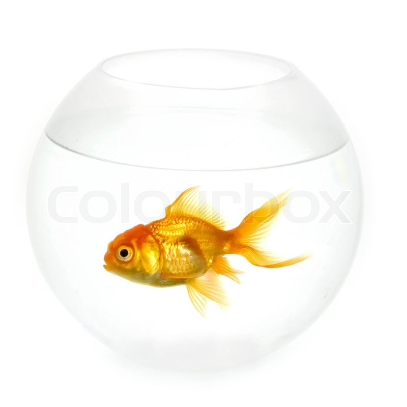 Alone goldfish is swimming in a fish bowl stock photo for Legal fish bowl