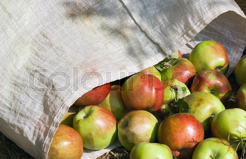 Stock image of 'Ripe plucked apples in a bag'