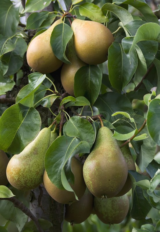 Stock image of 'Ripe pears'