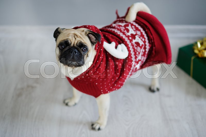 Stock image of 'Amusing doggie of breed a pug in a reindeer suit. The dog is dressed in a red-white sweater. The clever animal looks in the camera sad eyes. Merry Christmas. Happy New Year.'