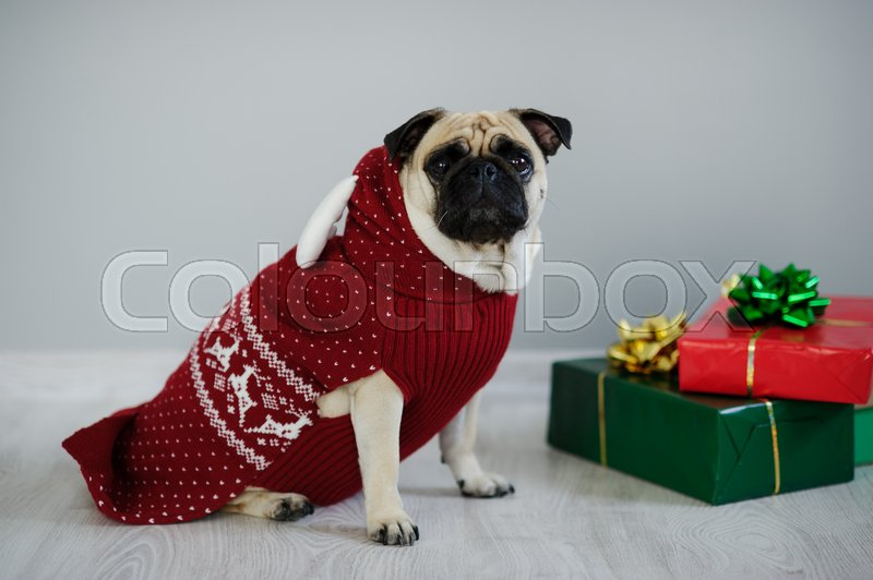 Stock image of 'The amusing doggy of breed a pug is dressed by a holiday in a red-white suit of a reindeer. She sits next to the gifts in bright packaging. Merry Christmas. Happy New Year.'