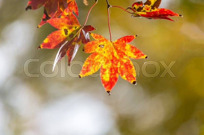 Stock image of 'autumn background Red leave with free copyspace'