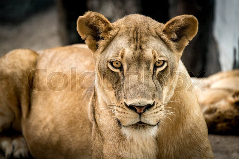 Stock image of 'Lioness, Female lion'