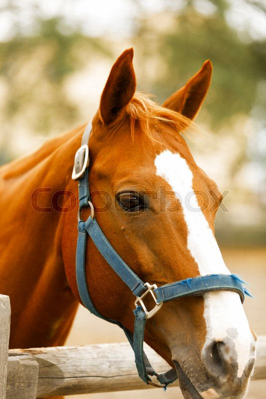 Stock image of 'Racehorse portrait on the farm.'
