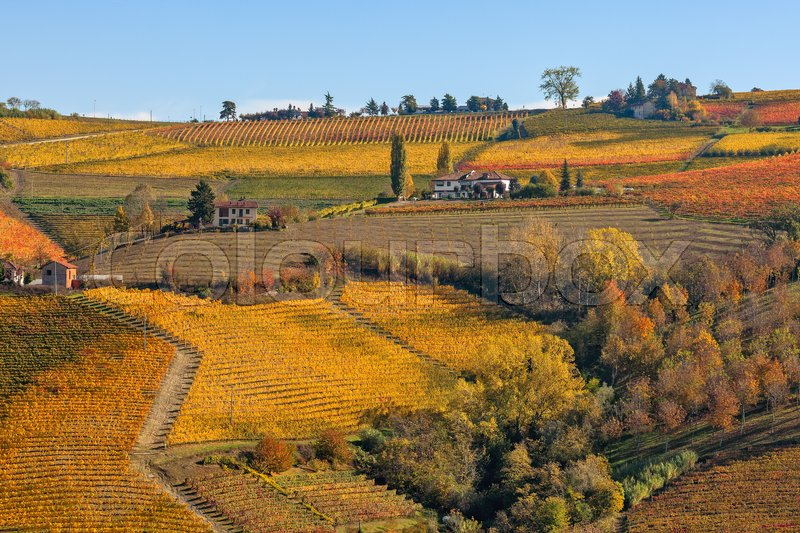 Stock image of 'Colorful autumnal vineyards on the hills of Piedmont, Northern Italy.'