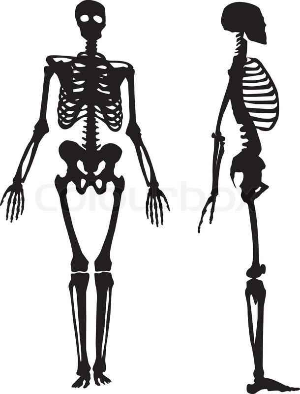 silhouette of a human skeleton. vector illustration | stock vector, Skeleton