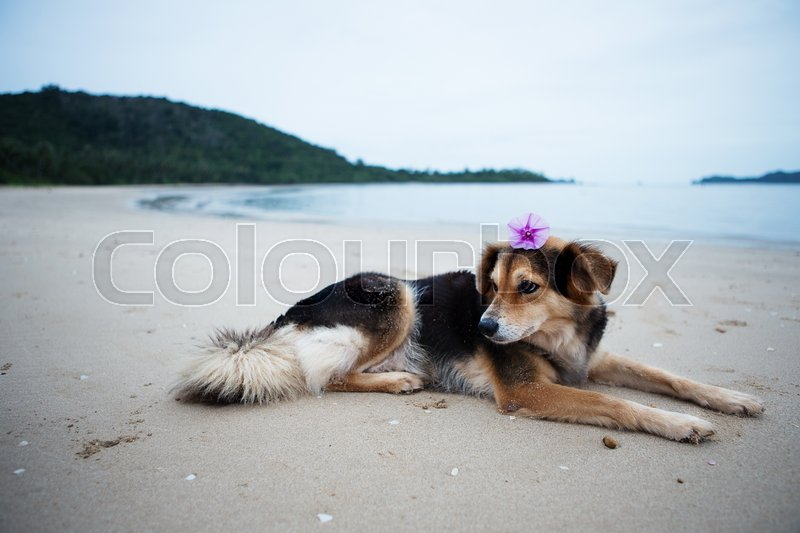 Stock image of 'Ipomoea pes-caprae flower placed on the dog's head, lying on the beach.'