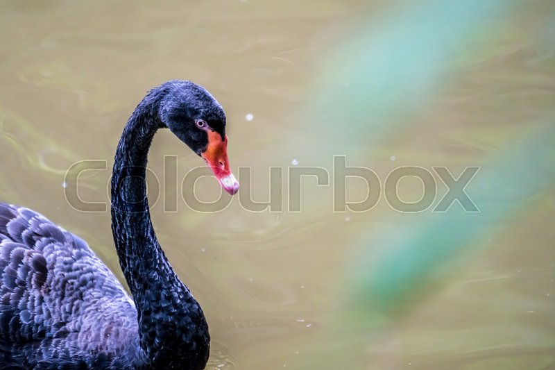 Stock image of 'Black swan in the pond'