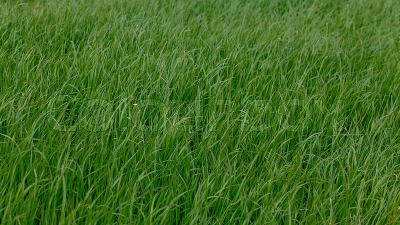 Stock image of 'Background of a green grass. Green grass texture'
