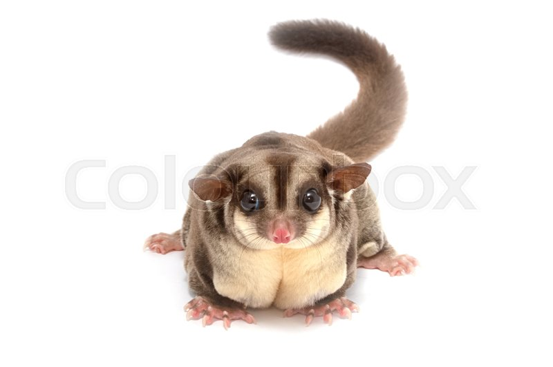 Stock image of 'Closeup of female sugar glider standing on the floor isolate on white'