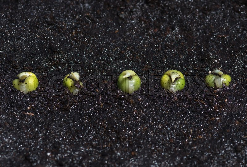 Stock image of 'Seeds of green pea sprout in the ground, close-up. Concept agriculture background.'