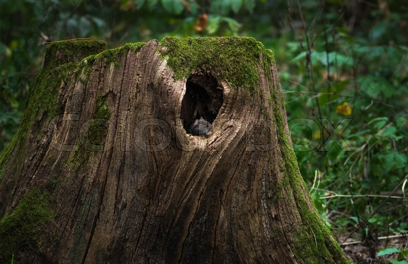 Stock image of 'Mouse sitting on the edge of his home - a large hollow tree stump in an old big forest'