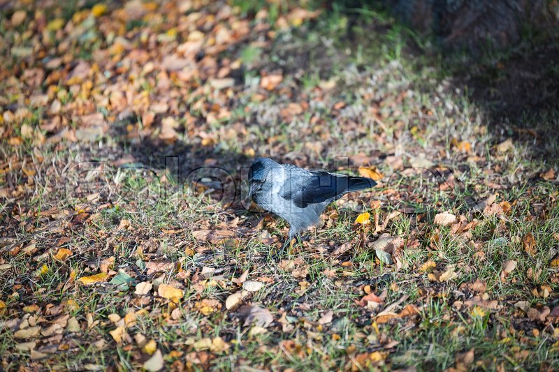 Stock image of 'Western Jackdaw Walking on Grass.'